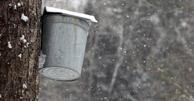 Maple syrup sap bucket hangs from a maple tree_126068