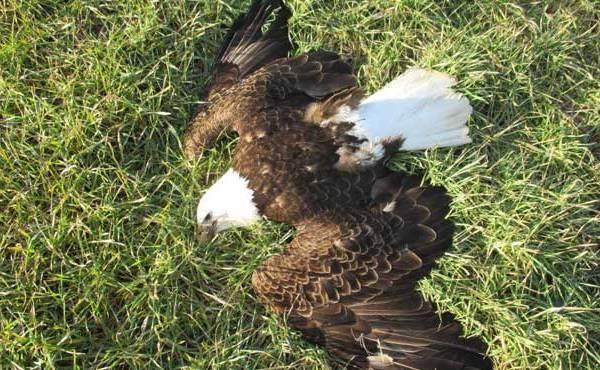 dead-bald-eagle_210864