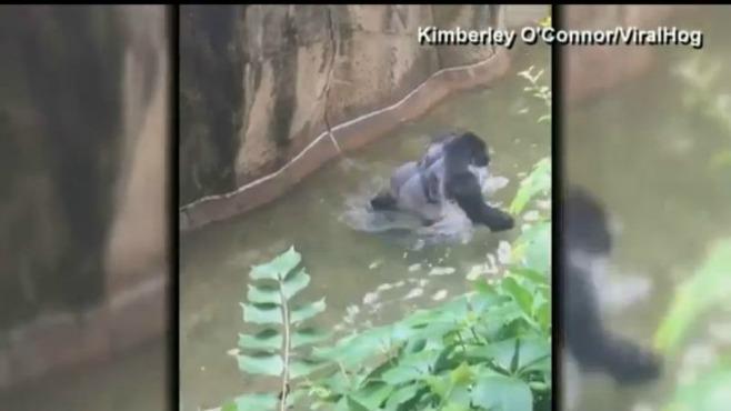 Cincinnati gorilla_228920