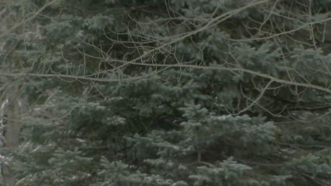 Pine tree fungus_305846