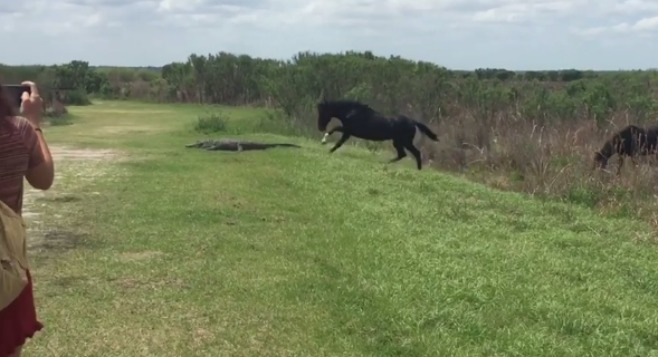 Horse v alligator_335469