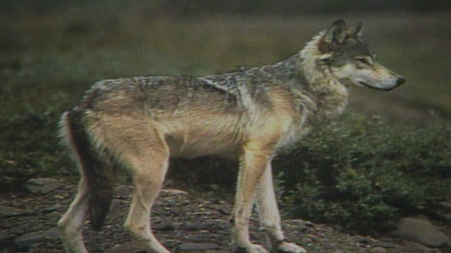 27 Investigates: Controversial way to control coyote population