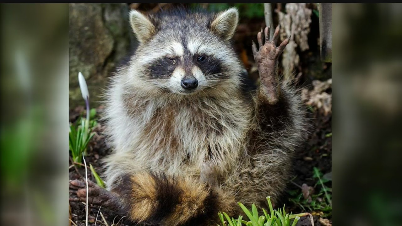 rapid-raccoons-