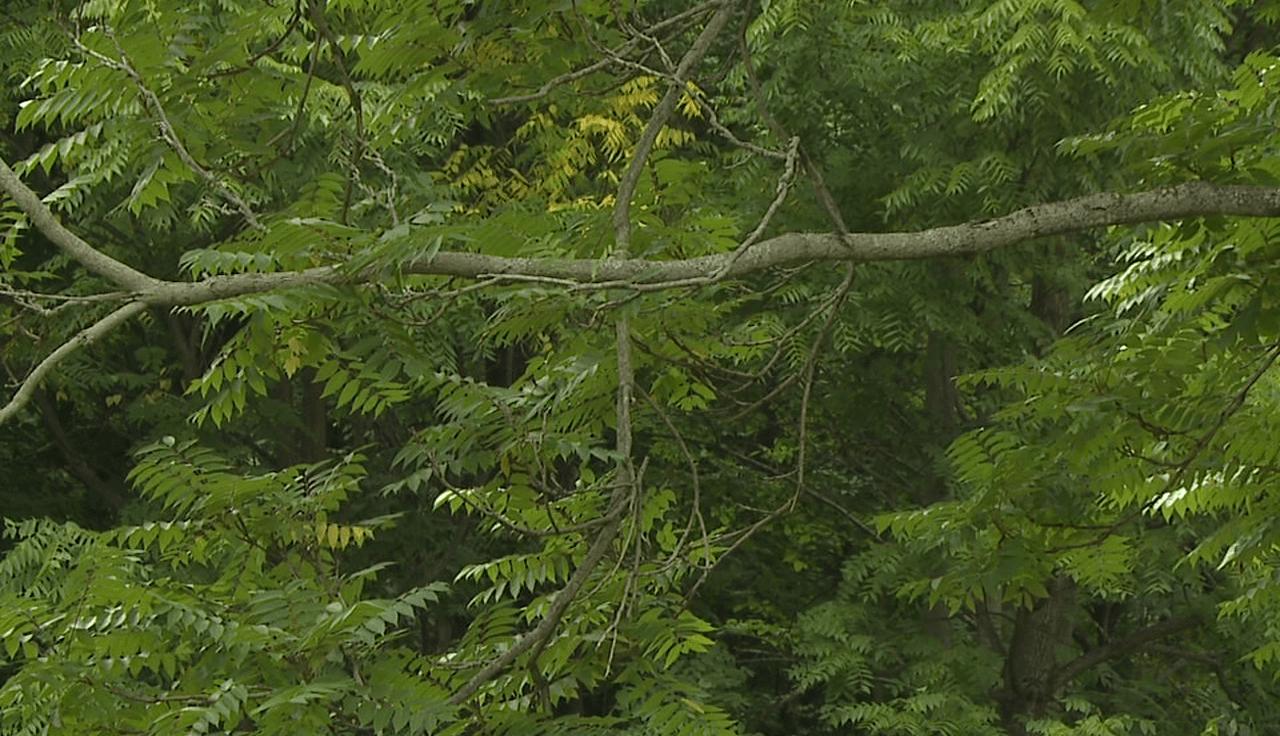 Woods generic