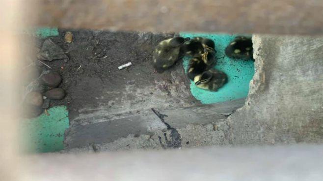 New Castle ducklings