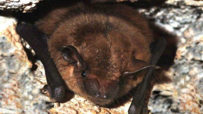 Roosting bats