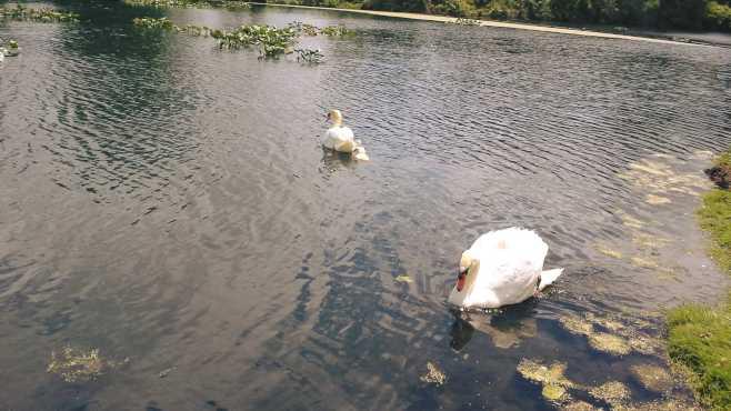 Swan at Gervasi Vineyard