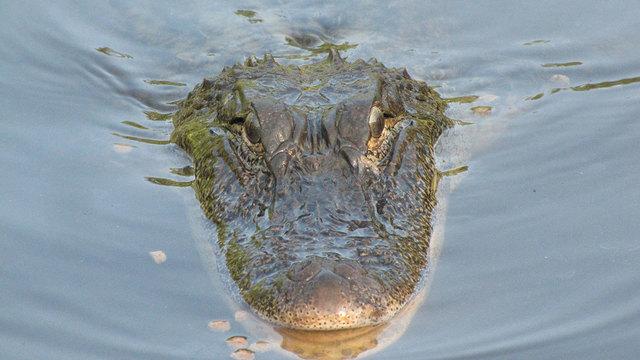 Alligator generic