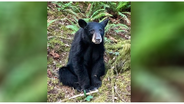 A friendly black bear in Oregon has been euthanized because of its sociable behavior, officials said.