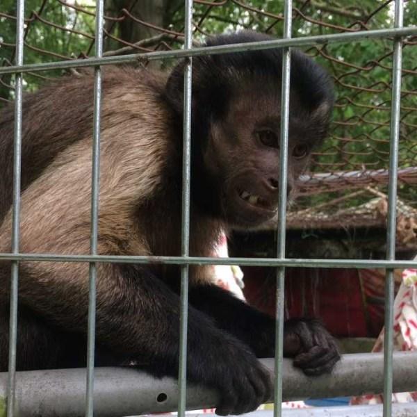 Braceville Twp. Monkey