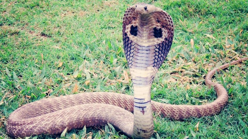 Cobra generic