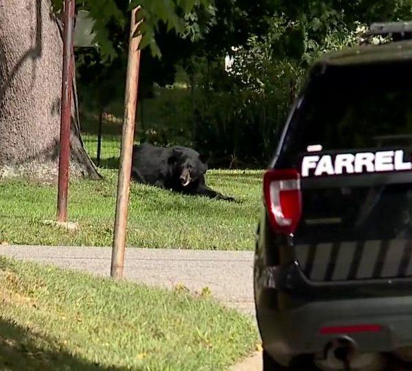 Black bear sightings in Ohio and pa.