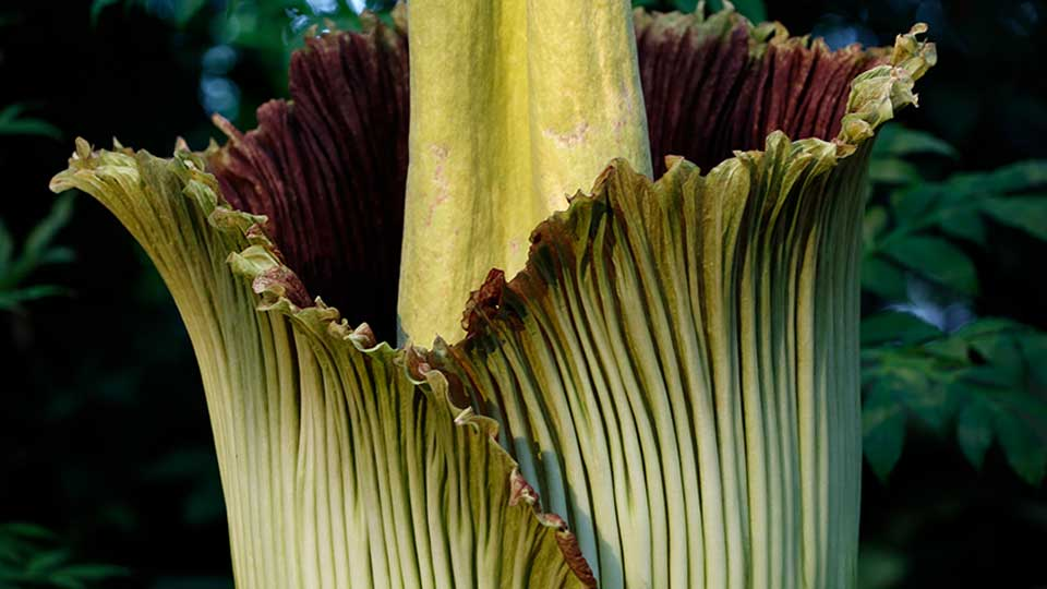 Cleveland Zoo Awaits Bloom Of Smelly Corpse Flower Wkbn Com
