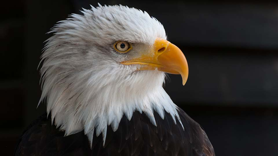 The head of a bald eagle, close-up.