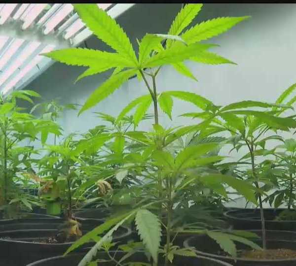 cannabis plant generic
