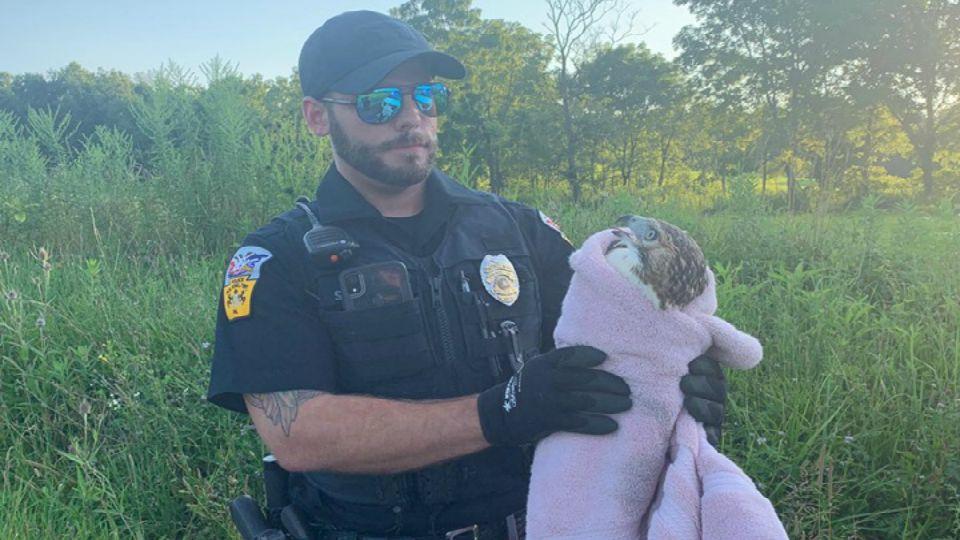 A hawk was rescued in Pulaski Twp.