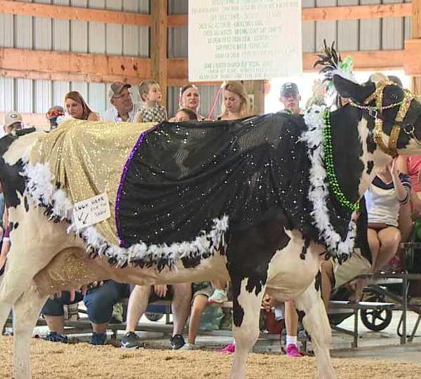 Canfield Fair Dress A Cow contest