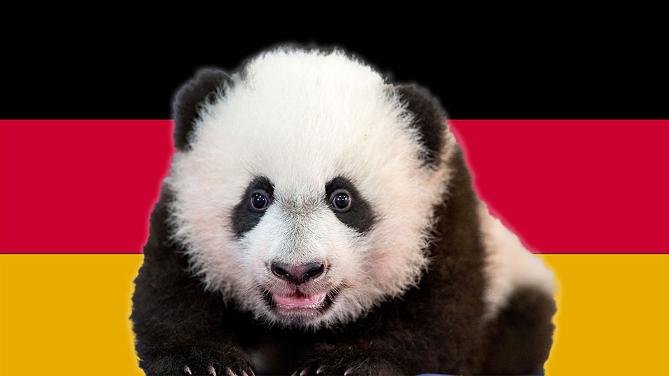 Panda Cubs Born in Germany