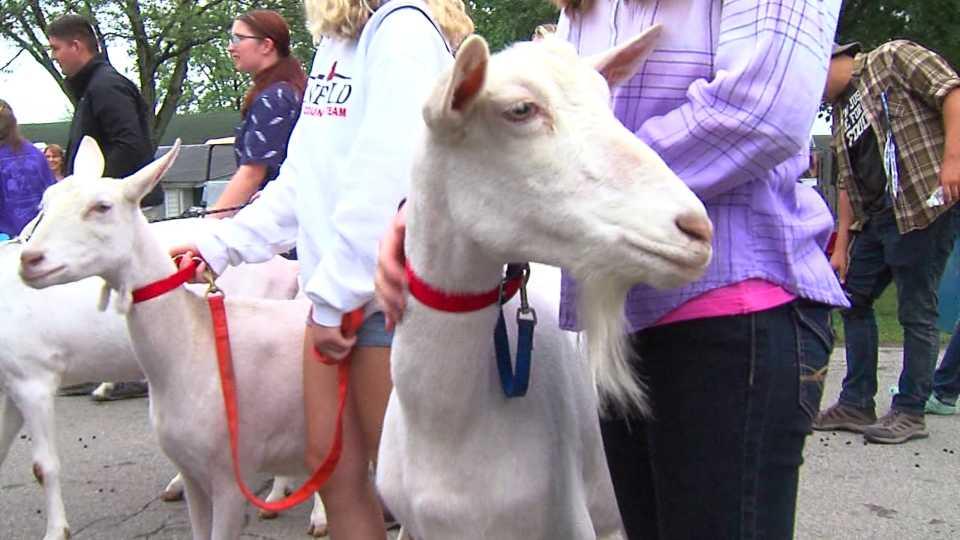 Canfield Fair goat parade
