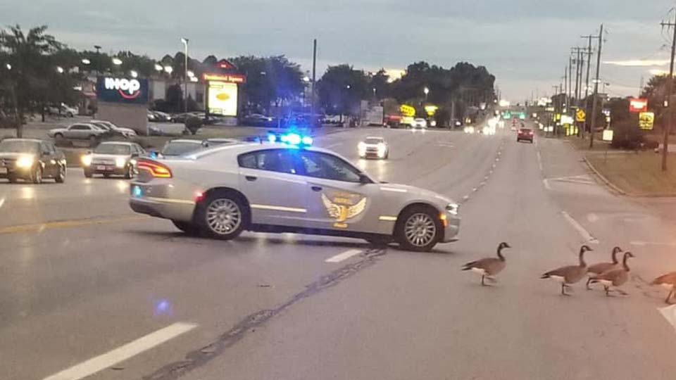 A Canfield trooper helps geese cross the road in Boardman.