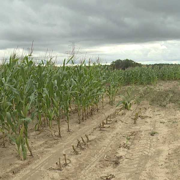 Corn crop at Angiuli's Farm in Canfield