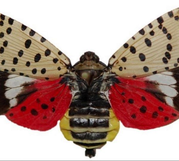 The spotten lantern fly is moving through Pennsylvania.