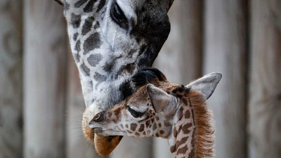 A newborn giraffe roams an enclosure with its herd at the Cincinnati Zoo & Botanical Garden, Monday, Nov. 25, 2019, in Cincinnati. The unnamed giraffe, whose sex has yet to be determined, was born on the previous Saturday morning and its arrival follows the death of its sire twelve-year-old Kimba that died after complications from a procedure to fix his hooves.