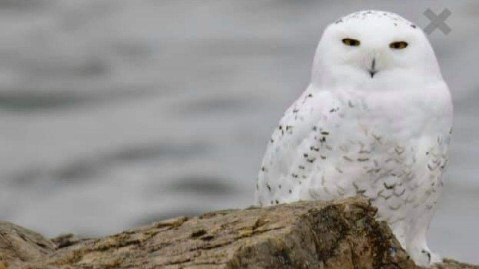 A snow owl was spotted at Mosquito Lake in Mecca Twp.