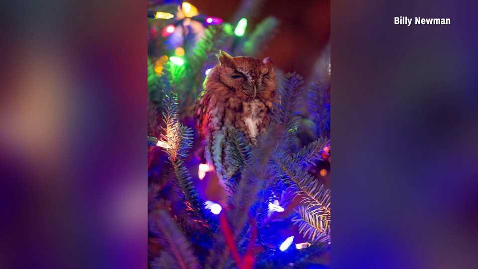 Owl found in Georgia Christmas tree