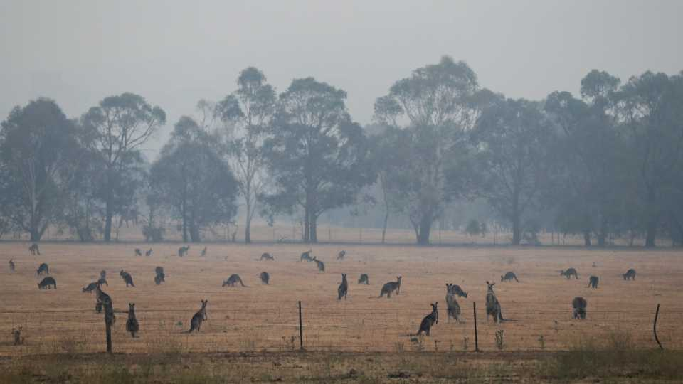 Kangaroos graze in a field as smoke shrouds the Australian capital of Canberra, Australia, Wednesday, Jan. 1, 2020. Australia deployed military ships and aircraft to help communities ravaged by apocalyptic wildfires that destroyed homes and sent thousands of residents and holidaymakers fleeing to the shoreline.
