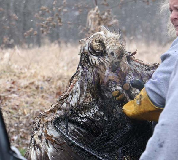 Bald Eagle rescued at Mosquito Lake 6
