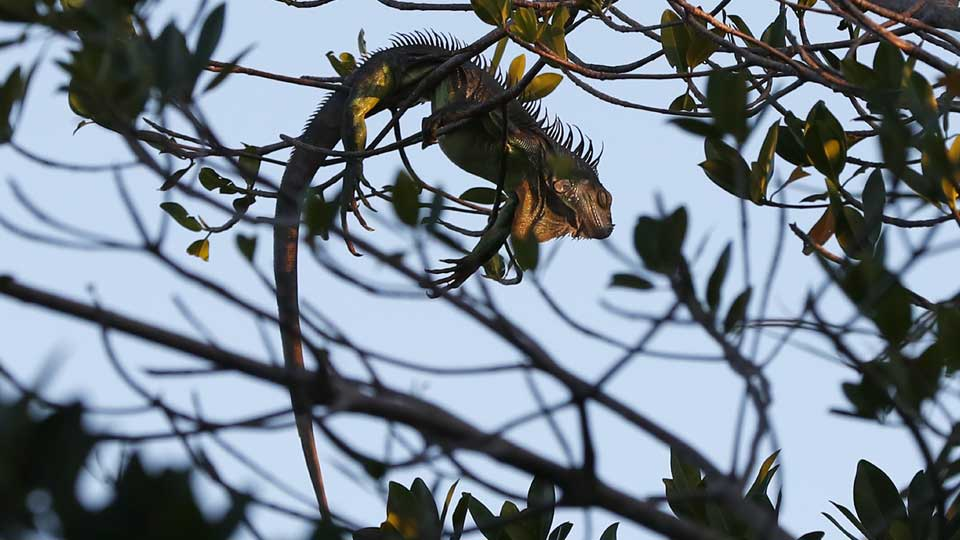 An iguana lies draped on a tree limb as it waits for the sunrise, Wednesday, Jan. 22, 2020, in Surfside, Fla.