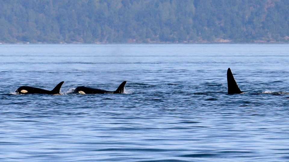 In this photo taken July 31, 2015, four orca whales swim in the Salish Sea in the San Juan Islands, Wash. The Southern Resident killer whales living in the area have lost about 20 percent of their population since the 1990's, likely because of dwindling food sources and contamination. This particular group of whales, now numbering at 81, is endangered.