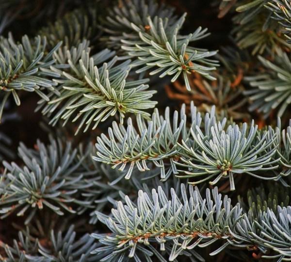Pine, Christmas tree