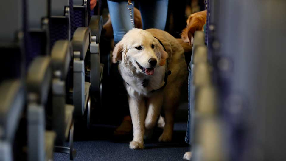 FILE - In this April 1, 2017 file photo, a service dog strolls through the isle inside a United Airlines plane at Newark Liberty International Airport while taking part in a training exercise, in Newark, N.J. Delta Air Lines says for safety reasons it will require owners of service and support animals to provide more information before their animal can fly in the passenger cabin, including an assurance that it's trained to behave itself.