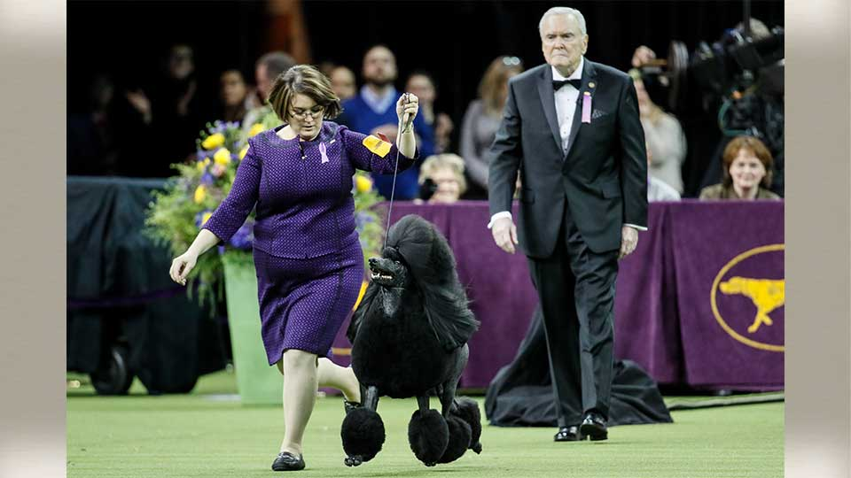 Siba, the standard poodle, competes in the Best in Show contest during 144th Westminster Kennel Club dog show, Tuesday, Feb