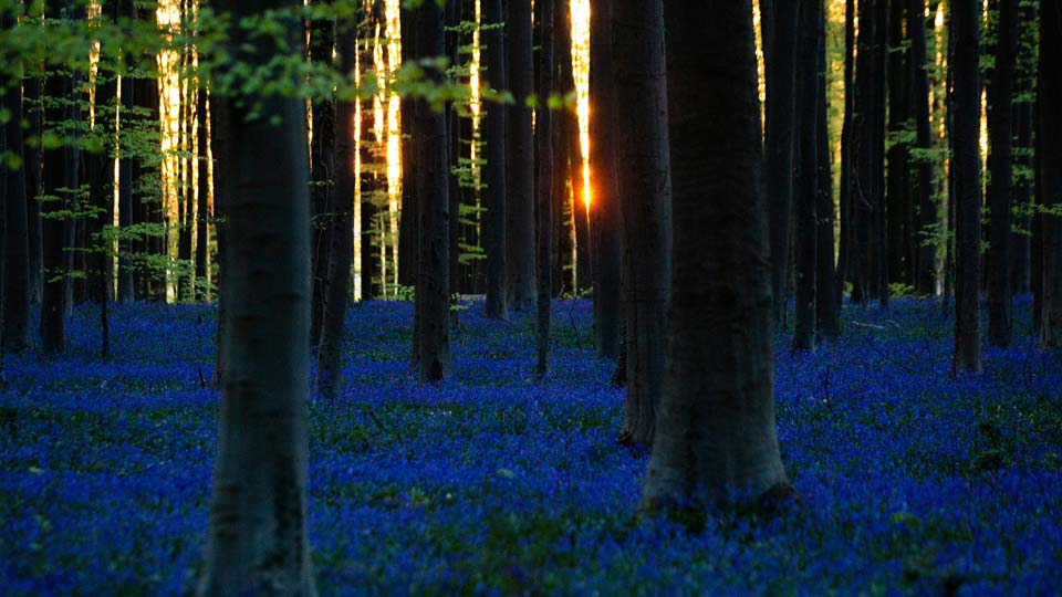 Bluebells, also known as wild Hyacinth, bloom in the Hallerbos forest in Halle, Belgium