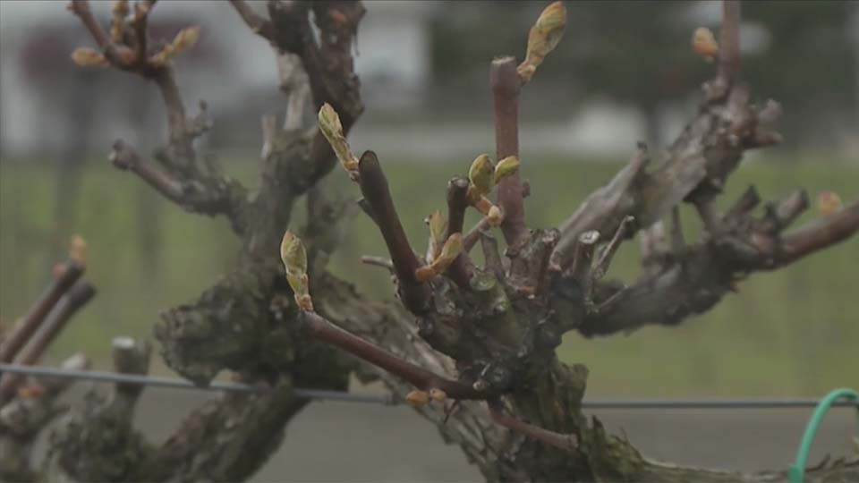 Cold weather affecting local vineyard wines