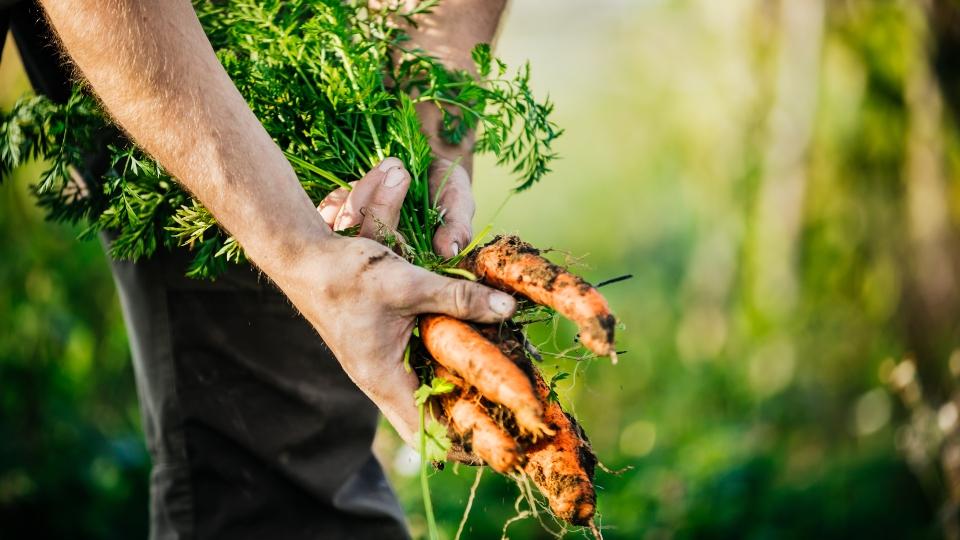 Crops, farming, carrots, vegetables.