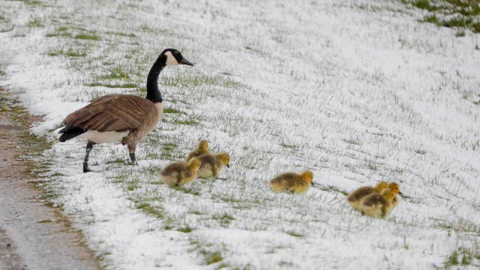 A family of Canada geese brave a snowy slope in Lanesborough, Mass., the morning after an unseasonably cold and snowy night on Saturday, May 9, 2020. Mother's Day weekend got off to an unseasonably snowy start in areas of the Northeast thanks to the polar vortex. While Manhattan, Boston and many other coastal areas received only a few flakes, some higher elevation areas in northern New York and New England reported 9 inches or more.