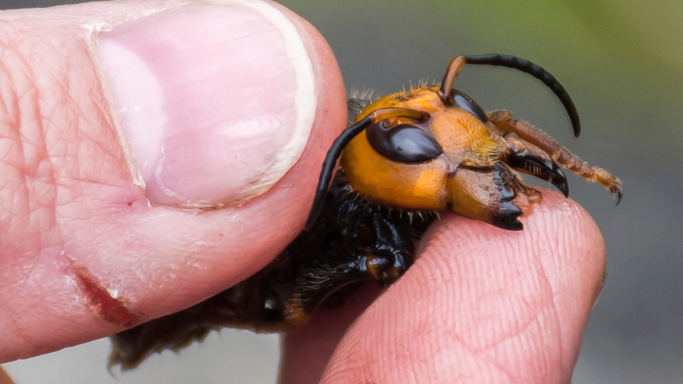 Bug experts dismiss worry about US 'murder hornets' as hype.