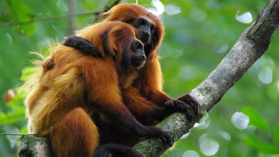 This undated photo provided by AMLD in June 2020 shows endangered golden lion tamarins which live in the wild only in Brazil's Atlantic rainforest. In the wake of the COVID-19 coronavirus pandemic, scientists monitoring the devastating impacts of yellow fever on golden lion tamarins are unable to work in closed forest reserves.