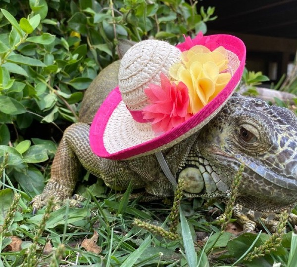 Aggie the iguana from Lowellville