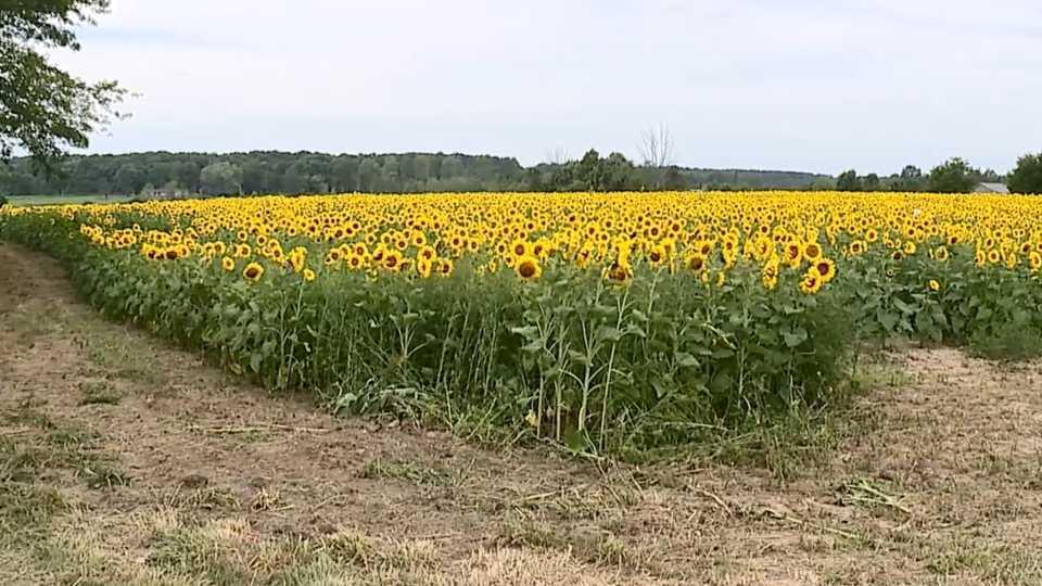 Angiuli Farm Market sunflowers