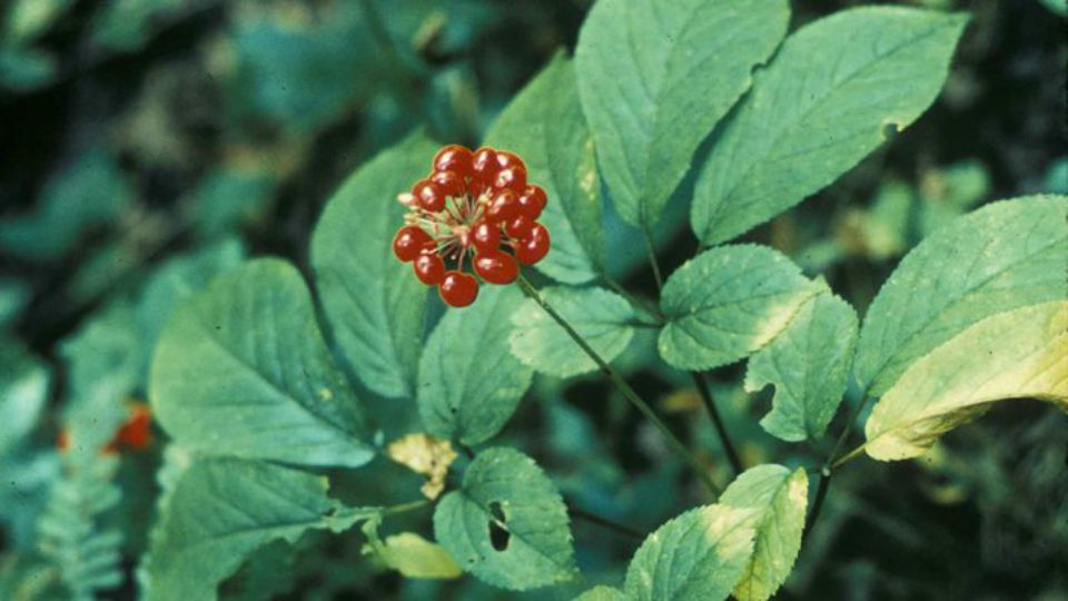 Ginseng root has been sought after and used for its medicinal properties for thousands of years.