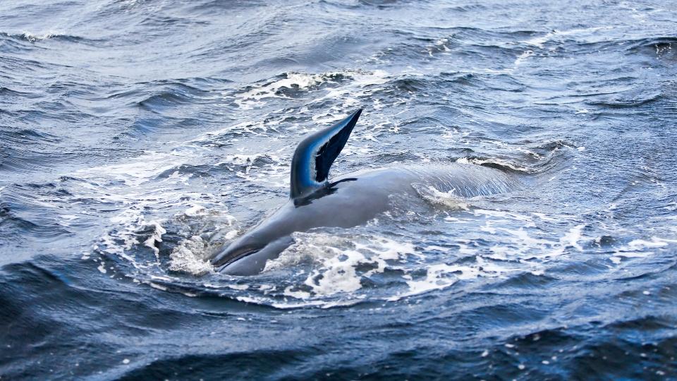 Whale stranding Australia