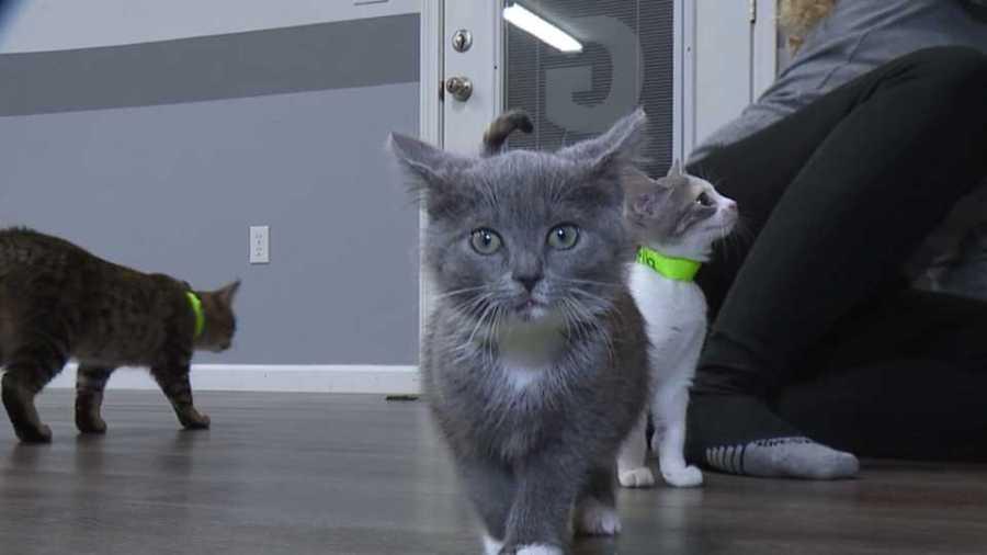 Cortland kitten yoga