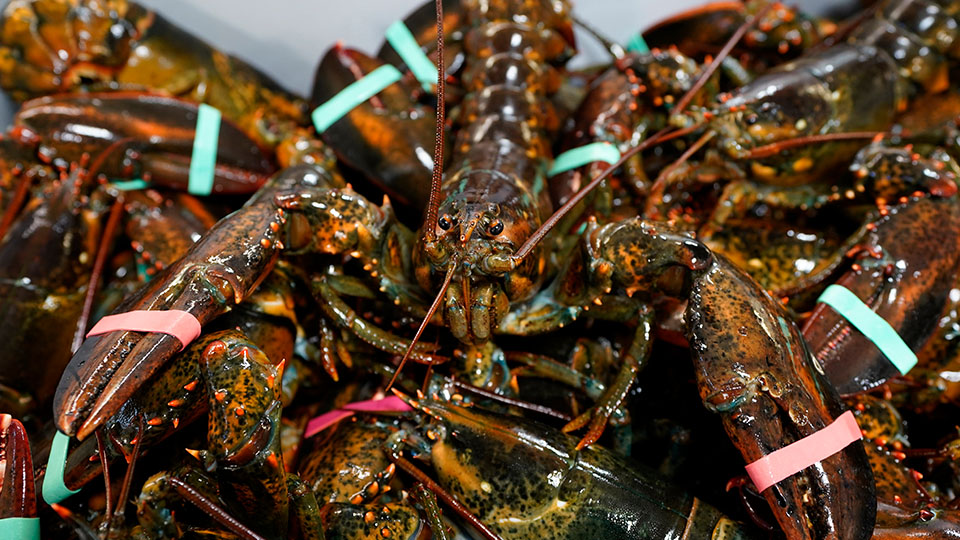 lobsters sit in a crate at shipping facility Arundel, Maine