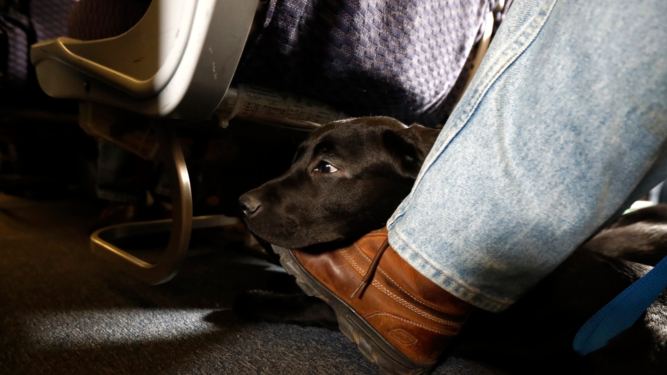 In this April 1, 2017, file photo, a service dog named Orlando rests on the foot of its trainer, John Reddan, while sitting inside a United Airlines plane at Newark Liberty International Airport during a training exercise in Newark, N.J.