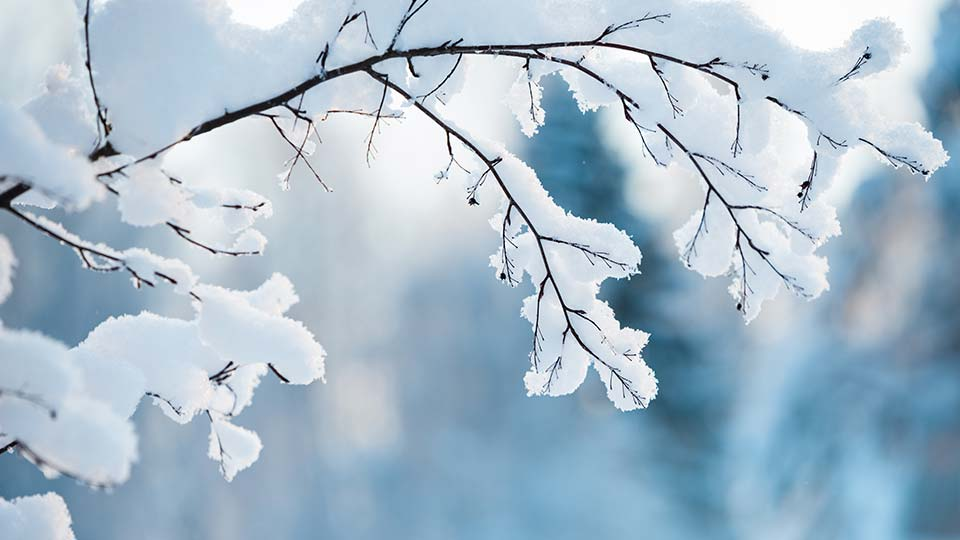 Snow on branches of a tree during winter.